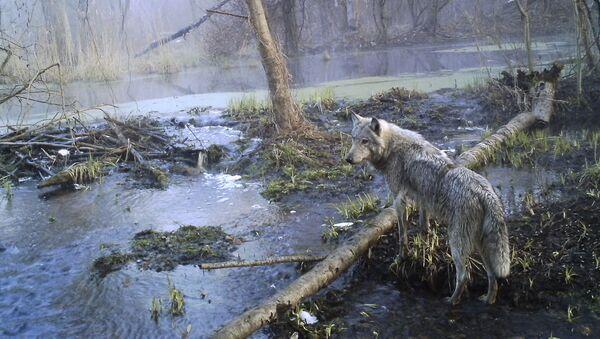 Волк в зоне Чернобыля - Sputnik Italia