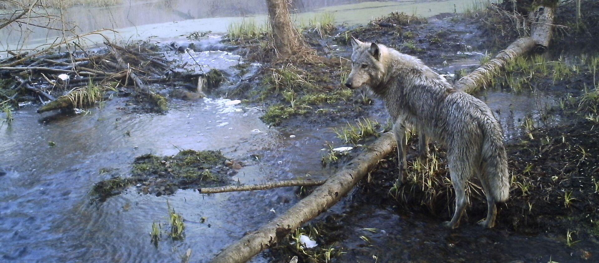 Волк в зоне Чернобыля - Sputnik Italia, 1920, 30.01.2021