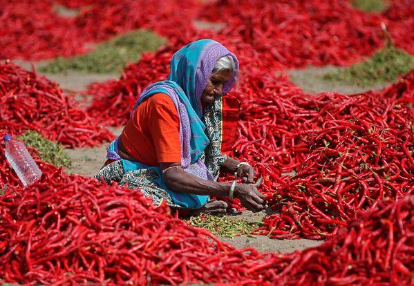 Elaborazione del pepe rosso nei pressi di Ahmedabad, India. - Sputnik Italia