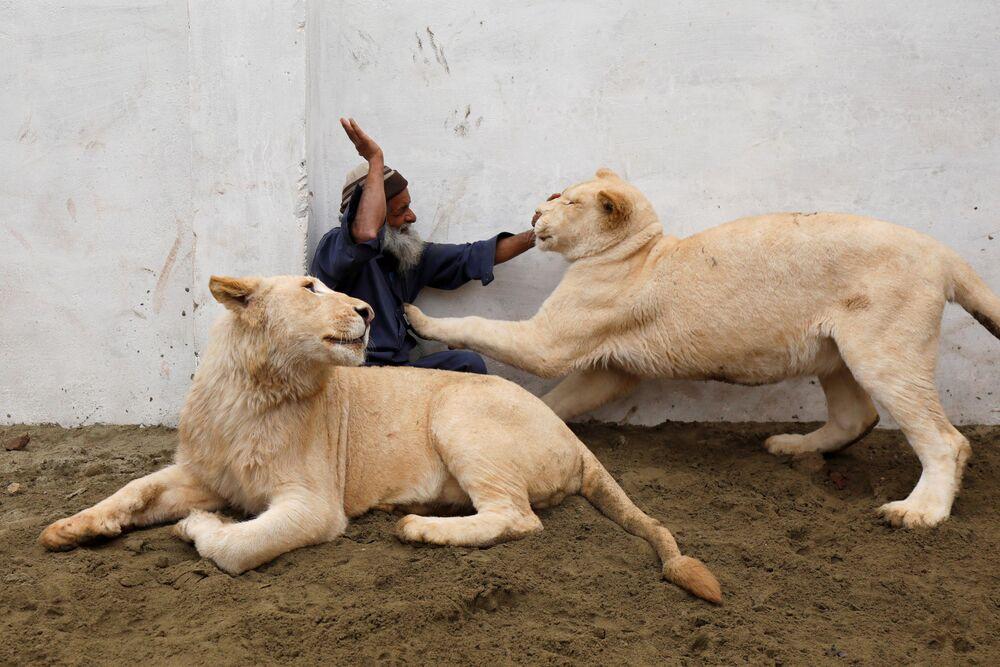 Guardiano gioca con due leoni domestici in una casa in perifiria di Peshawar, Pakistan.