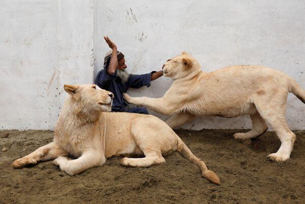 Guardiano gioca con due leoni domestici in una casa in perifiria di Peshawar, Pakistan. - Sputnik Italia