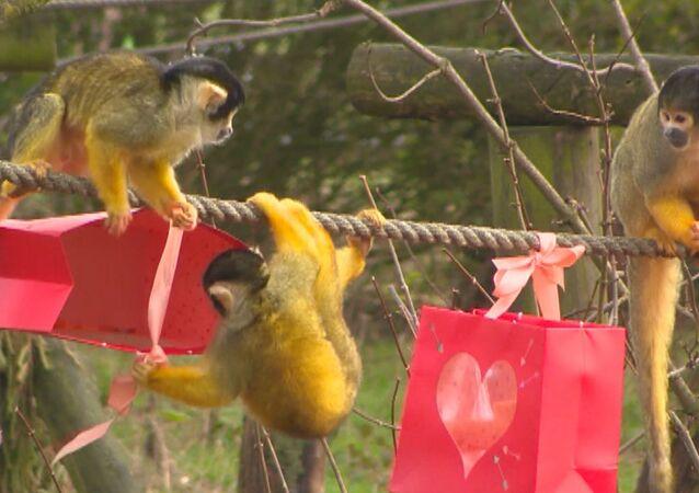 Le scimmie saimiri dello ZSL Whipsnade Zoo, Dunstable, Regno Unito, hanno ricevuto dei regali speciali per San Valentino.