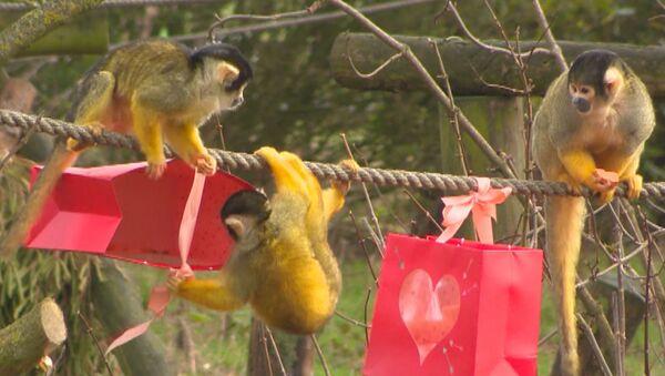 Le scimmie saimiri dello ZSL Whipsnade Zoo, Dunstable, Regno Unito, hanno ricevuto dei regali speciali per San Valentino. - Sputnik Italia
