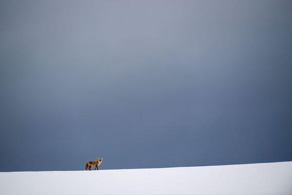 Una volpe nel campo ricoperto di neve a Erkenbollingen, Germania. - Sputnik Italia