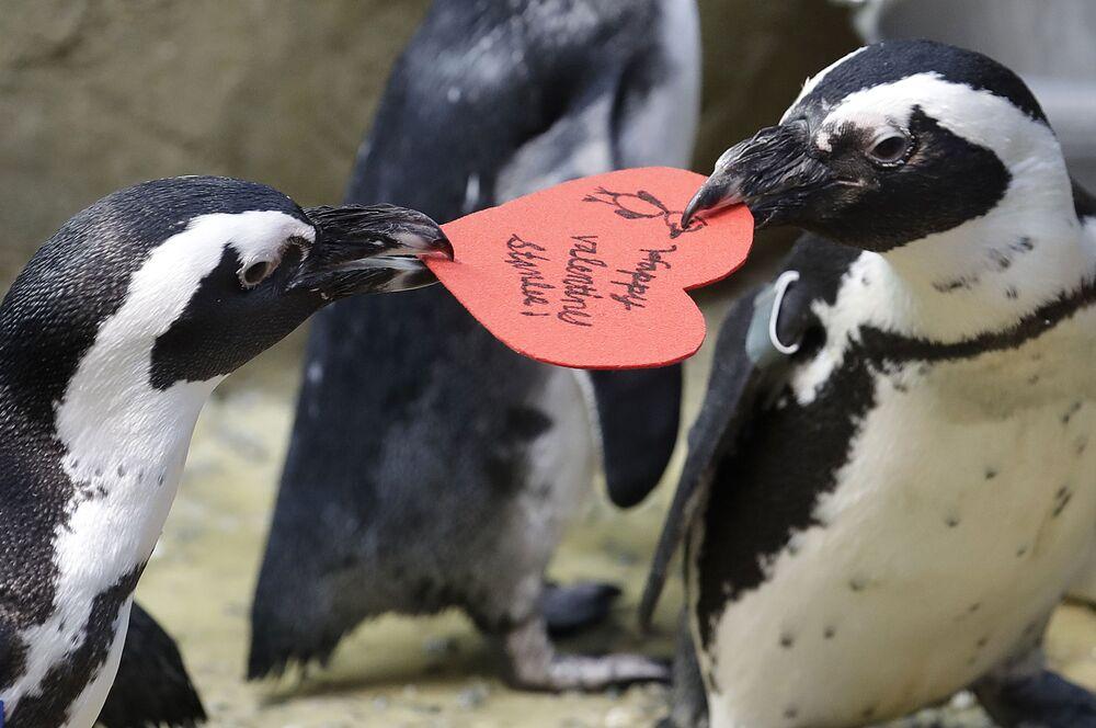 Pinguini africani si contendono un bigliettino di San Valentino a forma di cuore, dato loro dal biologo Piper Dwight dell'Accademia di scienze di San Francisco, California.