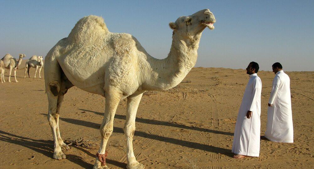 Camello in Arabia Saudita