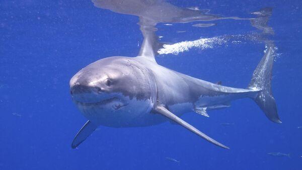 Great White Shark - Sputnik Italia