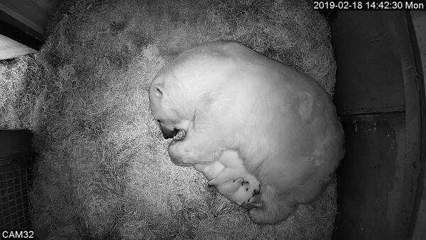 L'orsa polare Gerda con i cuccioli - Sputnik Italia