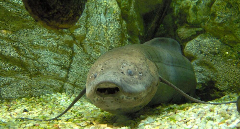 Un pez pulmonado, especie autóctona australiana