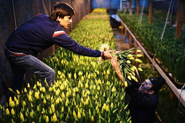 La raccolta dei tulipani a Novosibirsk. - Sputnik Italia