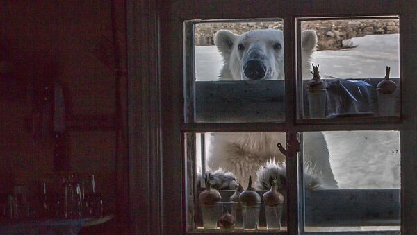 Orso bianco sull'isola di Hooker - Sputnik Italia