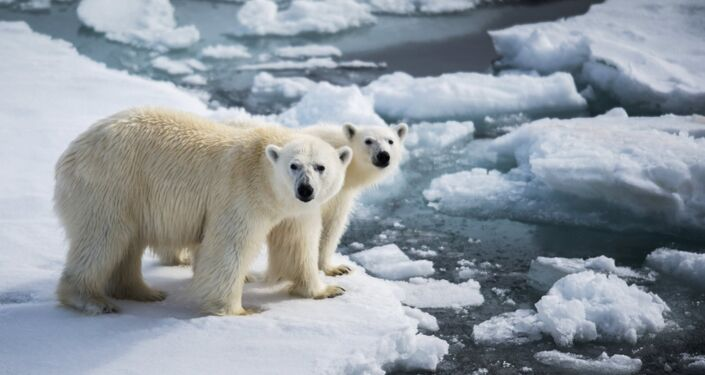 Orsi polari sul pack polare presso la Terra di Francesco Giuseppe