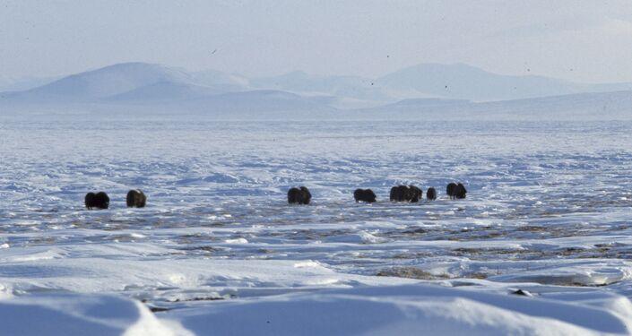 Buoi muschiati sull'isola di Wrangel (1988)