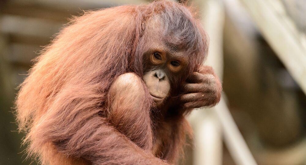 Un orangotango
