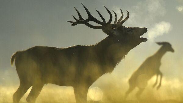 Un cervo - Sputnik Italia