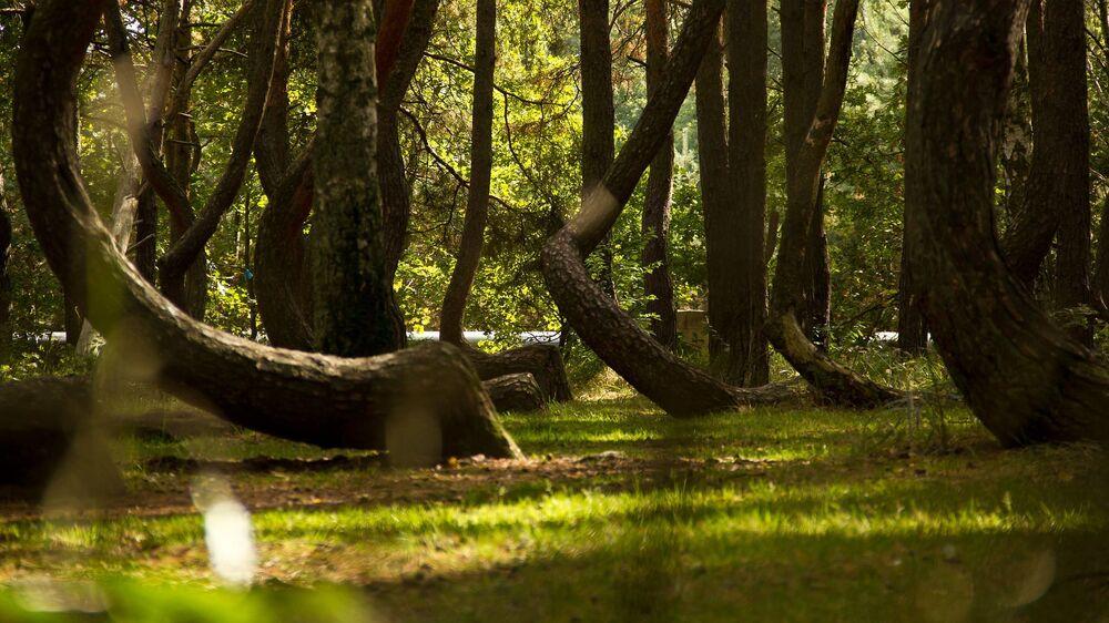 Il bosco di pini di Nowe Czarnowo, nella Pomerania occidentale, in Polonia. La strana forma dei 100 pini che furono piantati nel 1930, quando questo bosco era ancora in territorio tedesco, lo rende un luogo inquietante.