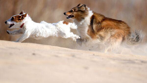Un allenamento di coursing per cani a Kazan. - Sputnik Italia