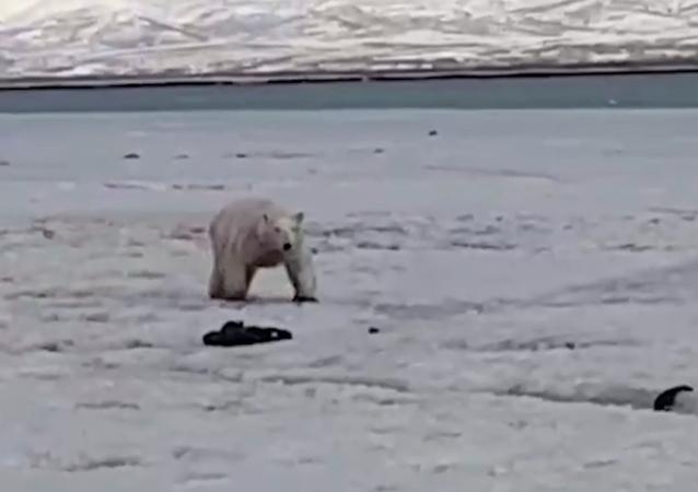 Abitanti della Kamchatka salvano un orso polare