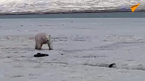 Abitanti della Kamchatka salvano un orso polare - Sputnik Italia