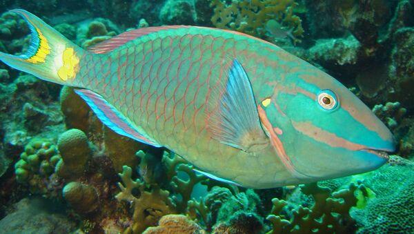 Il pesce pappagallo. Questi pesci sono soggetti al cambiamento di sesso. - Sputnik Italia