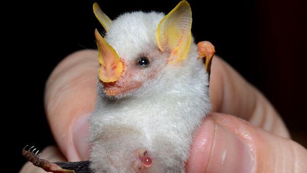 Il pipistrello bianco dell'Honduras. La IUCN classifica questa specie come prossima alla minaccia. - Sputnik Italia