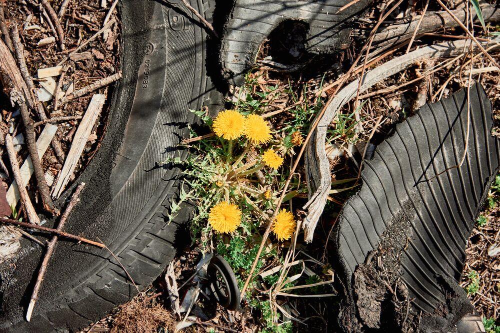 Un fiore di tarassaco si fa strada tra la spazzatura