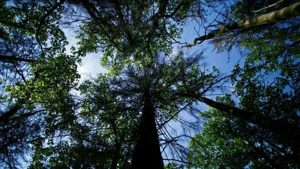 Alberi della foresta di Białowieża, situata tra Polonia e Bielorussia - Sputnik Italia