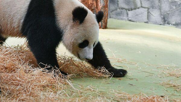 Panda Zhui allo zoo di Mosca - Sputnik Italia