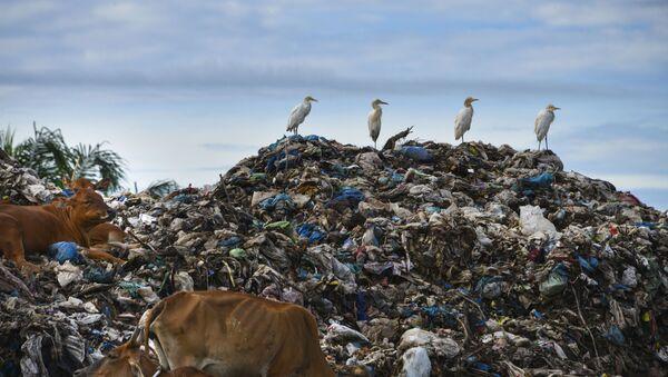 Цапли и коровы на мусорной свалке в индонезийском городе Мулабох - Sputnik Italia