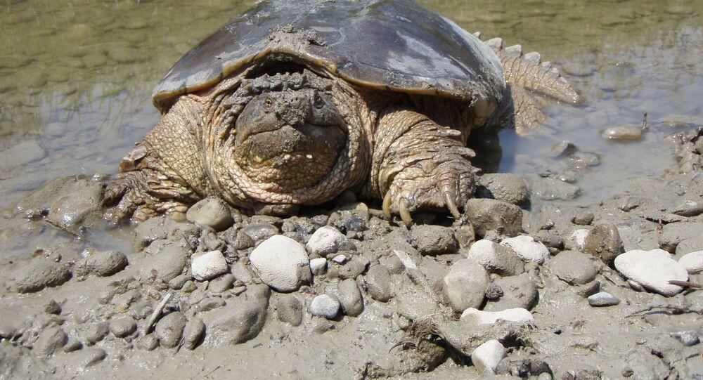 Una tartaruga (foto d'archivio)