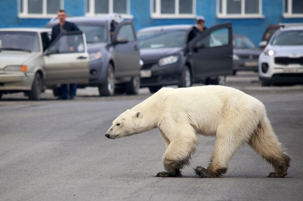 Orso polare in cerca del cibo a Norilsk, Russia.