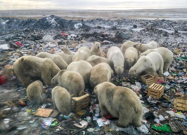 Questi orsi bianchi si sono spinti fino in una discarsica per trovare del cibo, nei dintorni del vilaggio di Belush'ya Guba, nell'estremo nord russo dell' arcipelago della Novaya Zemlya - Sputnik Italia