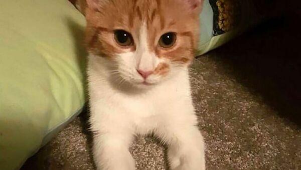 Il gatto bianco e rosso Paddles - Sputnik Italia