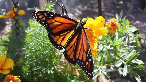 Farfalla monarca - Sputnik Italia