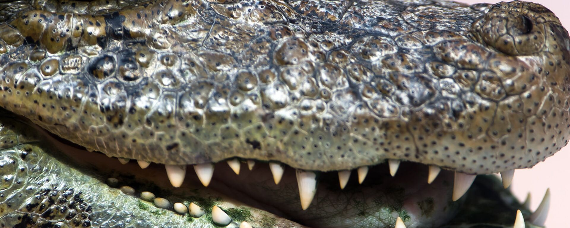 Alligator - Sputnik Italia, 1920, 17.07.2019