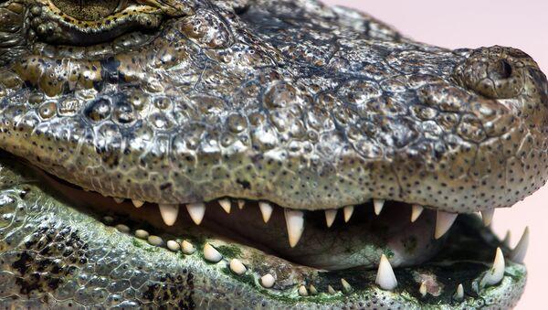 Alligator - Sputnik Italia