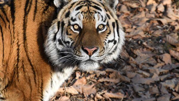 La tigre Amur, al parco-safari del territorio del Litorale, Russia - Sputnik Italia