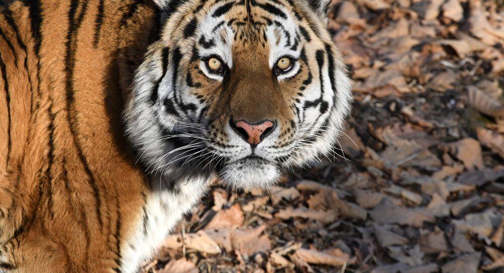 La tigre Amur, al parco-safari del territorio del Litorale, Russia