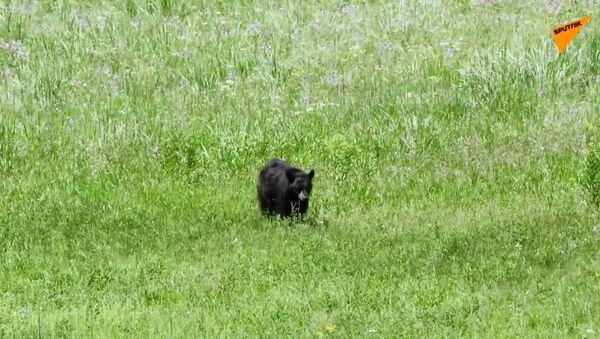 L'audace gru caccia via l'orso - Sputnik Italia