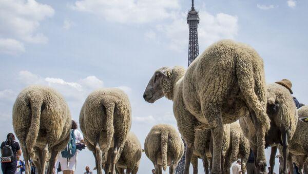 Le pecore osservano la Torre Eiffel. - Sputnik Italia