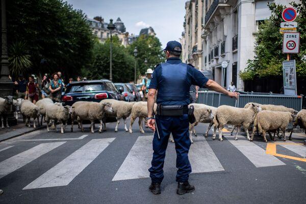 Il poliziotto indica la strada alle pecore. - Sputnik Italia