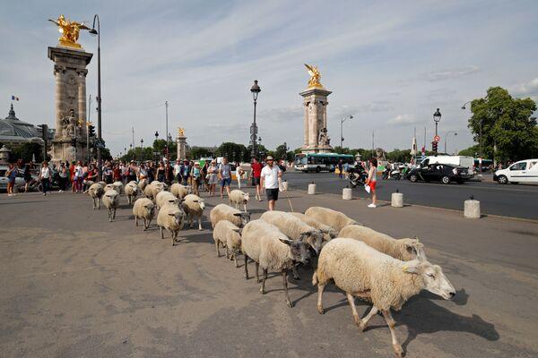 I pastori con le pecore vicino al Ponte Alessandro III. - Sputnik Italia