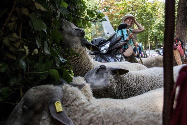 Le pecore camminano dall'Abbazia di Saint-Denis. - Sputnik Italia