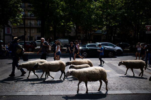 Le pecore nel corso di transumanza a Parigi. - Sputnik Italia