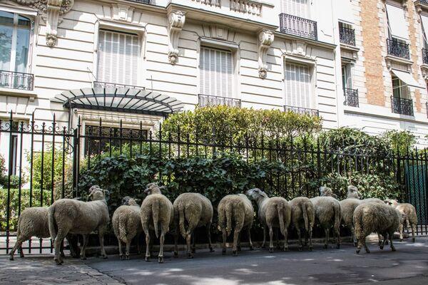 Pecore davanti ad un condominio a Parigi. - Sputnik Italia
