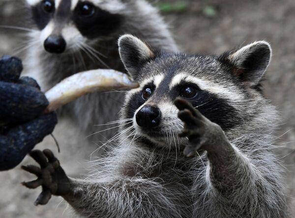 I procioni al parco-safari del Territorio del Litorale, nell'Estremo Oriente della Russia. - Sputnik Italia