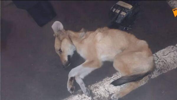 Sopravvissuto per miracolo: cucciolo trasportato nel cofano di un'auto per 5 km - Sputnik Italia