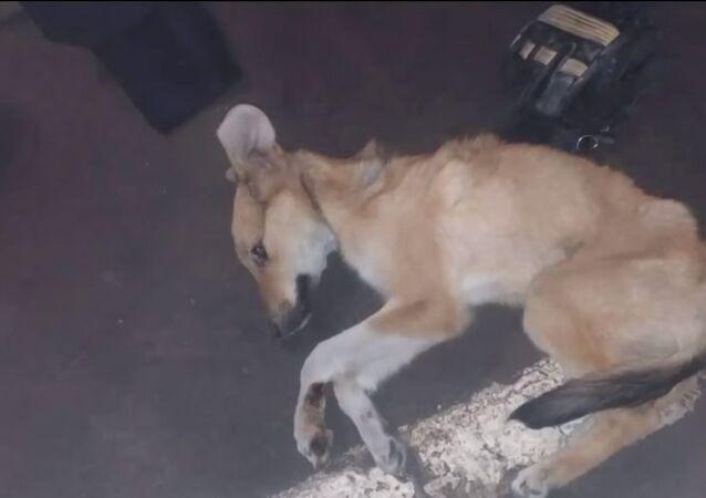 Sopravvissuto per miracolo: cucciolo trasportato nel cofano di un'auto per 5 km