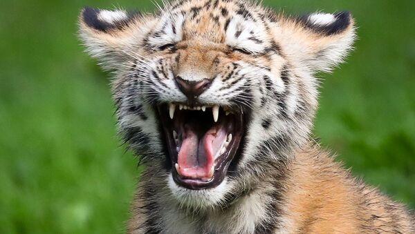 Il cucciolo di tigre siberiana. - Sputnik Italia