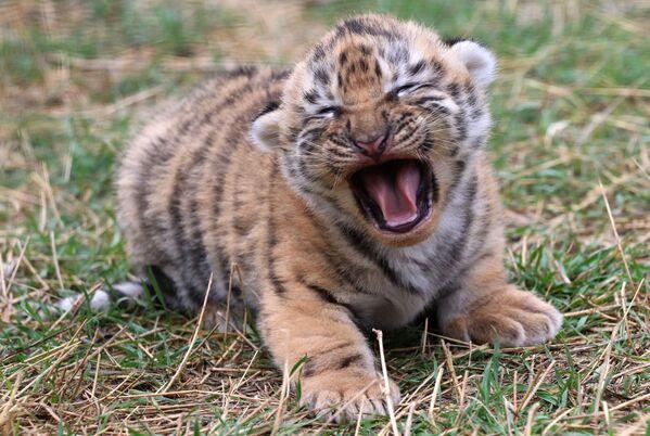Il cucciolo di tigre siberiana neonato al parco-safari Taigan, Crimea. - Sputnik Italia